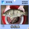 【一手货源】大量出售桂花鱼苗 鳜鱼苗 桂鱼苗 花鲫鱼 翘嘴鳜