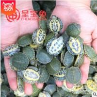 巴西龟苗外塘巴西龟苗宠物观赏小巴西龟活体招财龟巴西龟苗