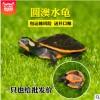 外塘圆澳苗厘米养殖场批发宠物红腹龟黄耳龟大小乌龟活体水龟观