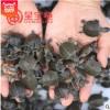 【呈宝龟】西部锦龟苗西锦龟活体东南部苗乌龟宠物巴西批发