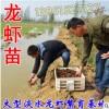 龙虾苗 龙虾苗价格 现在龙虾苗多少钱一斤 哪里有卖龙虾苗