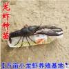 批发淡水小龙虾种苗 优质龙虾苗 澳龙一号种虾 原种一号虾种