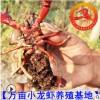 小龙虾种虾 小龙虾苗 淡水小龙虾种虾价格 小龙虾虾苗多少钱一斤