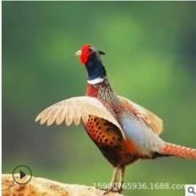 七彩野山鸡活体家养野鸡成年山鸡母鸡补品月子鸡送礼农家野味