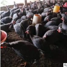 珍珠鸡养殖场三斤左右珍珠鸡多少钱一只厂家直销欢迎选购