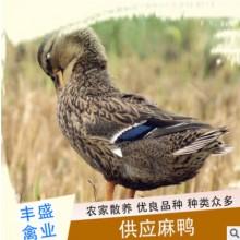 农场动物种苗供应麻鸭苗麻鸭家禽批发量大从优