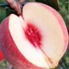 山东金秋红蜜 桃子新鲜应季采摘现货 露天金秋红蜜桃子甜产地直发