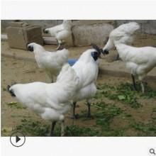 江山白羽乌骨鸡苗 走低散养存活率高 自然养殖绿色健康无污染滋补