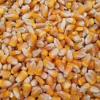批发新玉米 五谷杂粮玉米 猪牛羊鸡饲料玉米大量销售价格便宜