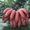 5斤21.9元!红皮香蕉 福建漳州美人蕉火龙蕉 现摘现发 5斤包邮