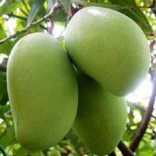 广西百色田东桂七青皮芒大青芒5斤香甜热带新鲜水果果园批发