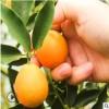 广西融安滑皮金桔新鲜水果脆皮金桔5斤中果一件代发甜脆个头匀称