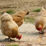 煲汤鸡河田鸡小母鸡月子鸡农家土鸡散养鸡放养鸡