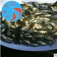 【火热销售】优质新吉富罗非鱼苗 3-6厘米超级罗非鱼苗 罗非水花
