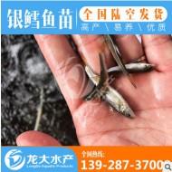 【苗场直销】3~4厘米 优质 淡水银鳕鱼苗 大鳞鲃鱼苗全国可养