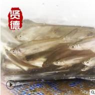 【品牌热销】长江翘嘴白鱼苗种4CM左右白条鱼白丝鱼鲌鱼翘嘴红鲌