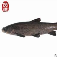 【诚信商家】青鱼苗青鱼水花苗0.7cm四大家鱼苗水花寸苗夏花鱼种