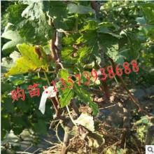 特早熟葡萄新品种 黑康葡萄苗 南北方种植高产葡萄树苗常年不喷药