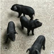 热销藏香猪瘦肉型野生猪种 生态养殖藏香猪种猪 出售藏香猪苗包活