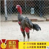 7斤多的黑色鬼母斗鸡价格 脱温的斗鸡价格 哪里有卖打比赛的斗鸡