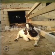 波尔山羊种羊价格 出售纯种波尔山羊种苗 山东波尔山羊养殖场