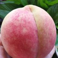 山东映霜红蜜桃子现摘现发脆甜当季新鲜水果包邮