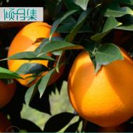 现摘现发 赣南脐橙江西赣州 香甜橙子5/10斤装 新鲜水果 一件代发