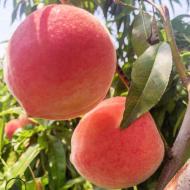 山东金秋红蜜 桃子新鲜应季采摘现货 露天金秋红蜜桃子甜产地货源