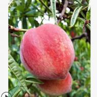 现货现摘毛桃水蜜桃5斤包邮非油桃水蜜桃甜桃子 新鲜水果产地直供