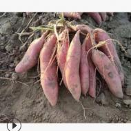 农家自种现挖新鲜红薯 番薯蜜薯烤红薯甜糯稀软糖心一件批发
