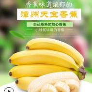包邮 福建天宝香蕉 5斤装漳州香蕉 现摘发货青蕉泡沫箱 一件代发