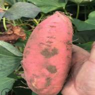 农家种植红薯烟薯25产地批发口感软糯香甜常年供应地瓜坊