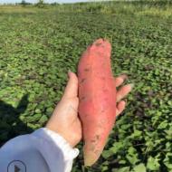 产地批发红薯 烟薯25 窖藏糖化红心稀瓤 电烤 缸烤 烤薯店地瓜