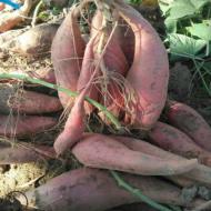 雄县地窖货龙薯九号一批发供应烤薯店薯沙地瓜蜜薯新鲜现挖