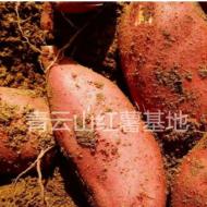山东青云山新鲜现苏薯八号红心红薯 红皮烤地瓜番薯 微商一件代发