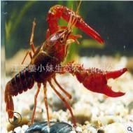 淡水龙虾批发养殖基地直销456和789青红虾活体运输量大从优