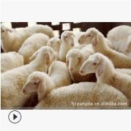 浙江湖羊原种羊场