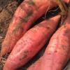 新鲜红薯一件代发 现摘现发广西巴马红心蜜薯番薯六鳌地瓜小香薯
