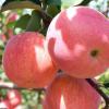 陕西红富士苹果 5斤新鲜当季水果整箱水晶红富士现摘现发脆甜好吃