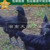孵化场直销 五黑鸡 乌骨鸡 全国发货免运费 包打疫苗 价格美丽