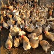 湖南厂家 批发供应 三黄鸡苗 土鸡苗 质量保证 价格优惠 包邮