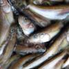 雷鱼原料 食用鱼 加工用鱼 海鱼 冻鱼 雷鱼 带籽雷鱼 餐饮海鲜