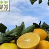 产地货源 广西武鸣特产皇帝柑5斤贡柑橘橙子新鲜水果批发一件代发