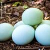 绿壳鸡蛋农家新鲜乌鸡蛋480枚/箱乌鸡蛋鸡蛋大量批发