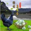 厂家大量批发新鲜绿壳乌鸡蛋420枚/箱自养批发