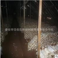 大量批发抗秋冬平菇产量高价格低免费技术指导冬平菇种植菌袋