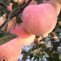 烟台苹果 栖霞 红富士 苹果 霜降果 脆甜多汁 产地直发 量大