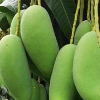 四季芒果象牙芒广西酸芒果生吃新鲜水果生青芒果酸脆孕妇热带芒果