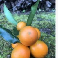 正宗融安滑皮金桔 脆蜜金桔 广西新鲜水果 现摘新鲜 支持一件代发