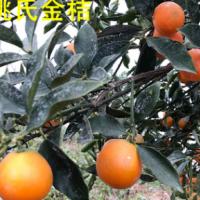 正宗广西融安脆皮脆蜜金桔3-5斤新鲜广西水果基地直发